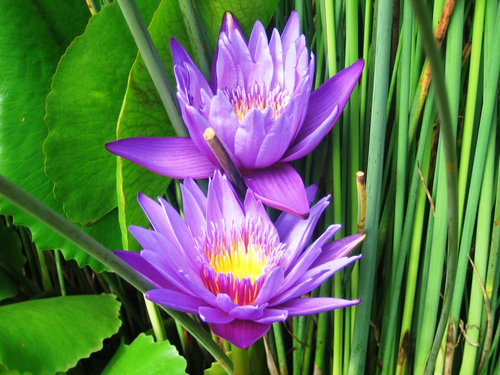 Blue Water Lily, the sacred flower.  (2/6)