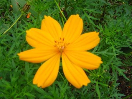 Cosmos.. Bunga Kenikir Yang Mencerahkan Hari (3/4)