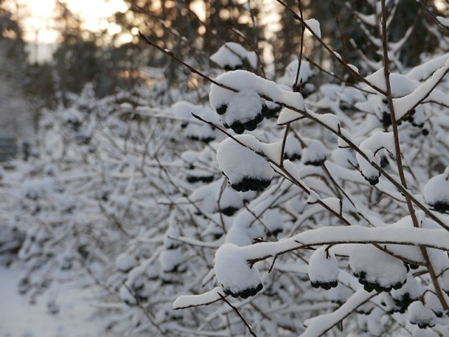 snowybushes
