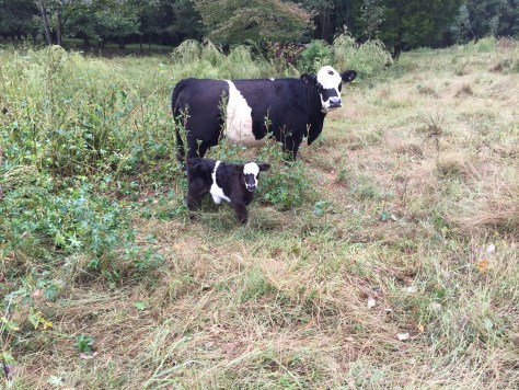 Cute Belted Galloway calf and mom