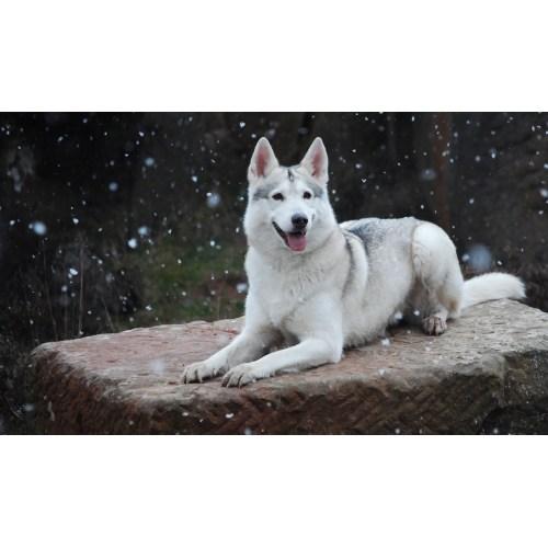Medium Crop Of Northern Inuit Dog
