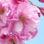 Sakura Blossoms – Happy Mother's Day