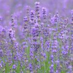 ファーム富田のラベンダーとお花畑|花人街道(美瑛~富良野)の夏を楽しむ