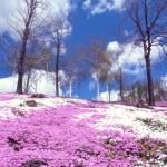 ひがしもこと芝桜公園の芝桜とリバーサルフィルム・フォルティア