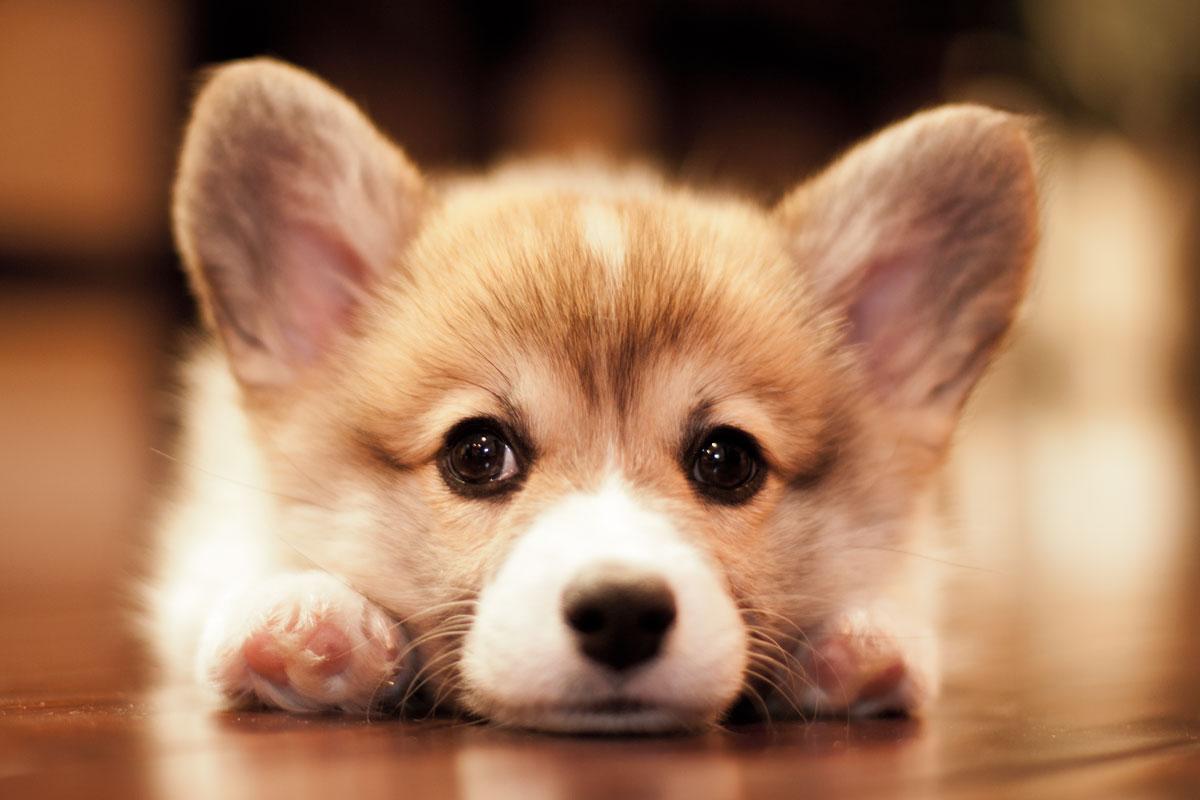 Fullsize Of Cute Corgi Puppies