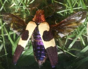 Chrysochroa-Rugicollis