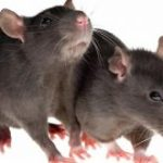 How to Get Rid of Rats?