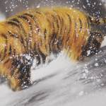 0153 Tiger in Snow Painting / Gyokuhou Horie 006