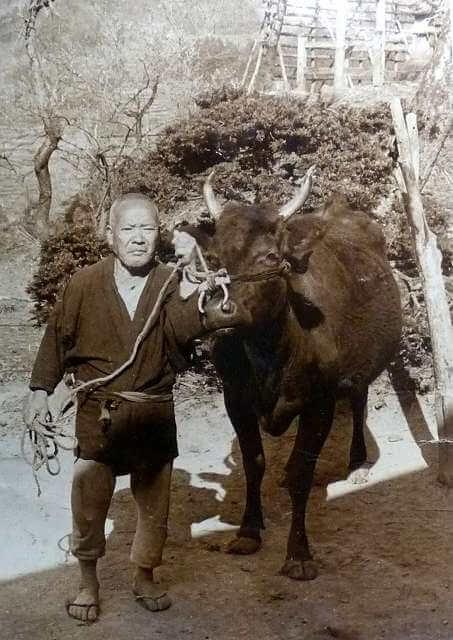 Tajima Cattle