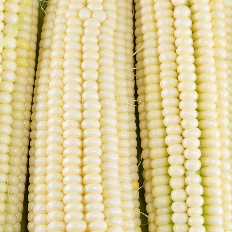 Large Of Silver Queen Corn