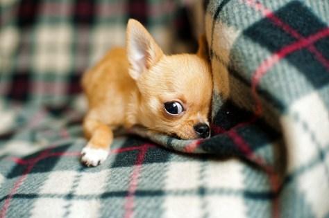 chihuahua-puppy-958203_960_720
