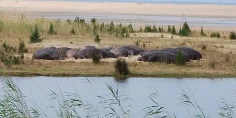 Ippopotami sulle rive del fiume cha segna i confini di Saint Lucia