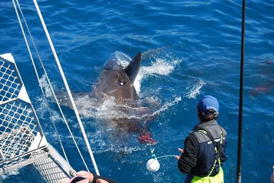plongée en cage requin blanc australie