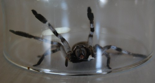 araignée mortelle australie