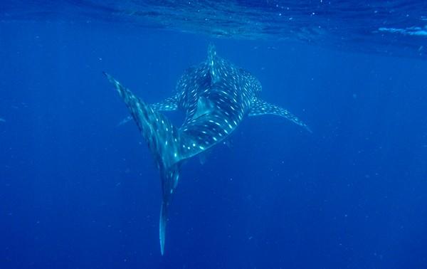 photo requin baleine australie 2