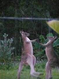 Kangaroos Closeup