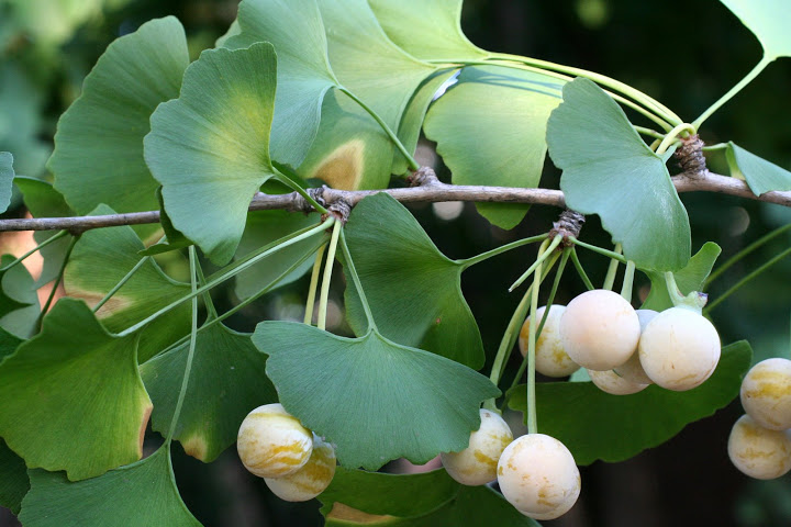 Effectiveness of Ginkgo biloba in treating tinnitus: double blind, placebo controlled trial 2
