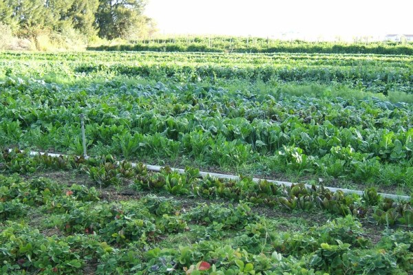 Organic-vegetable-cultivation