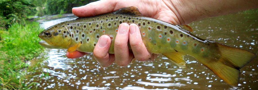 Taken from the Ebchester stretch of the Derwent, a nice plump brownie