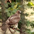 Red Tail Hawk on Copp's Hill Terrace - August 2012 by Brendan O'Brien