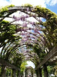 Hanging Wisteria Blooms at Christopher Columbus Park - May 2013 - Photo by Meredith Piscitelli