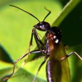 Carpenter Ant Drone Camponotus pennsylvanicus