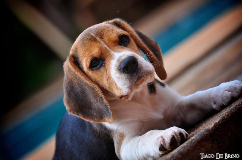 Enfermedades del Beagle