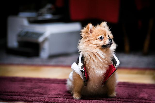 Jiff, el perro de raza Pomerania que ha batido un nuevo record de Guinness