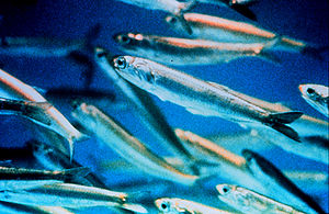 Northern anchovies are important prey for marine mammals and game fish