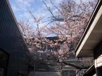 4.14桜
