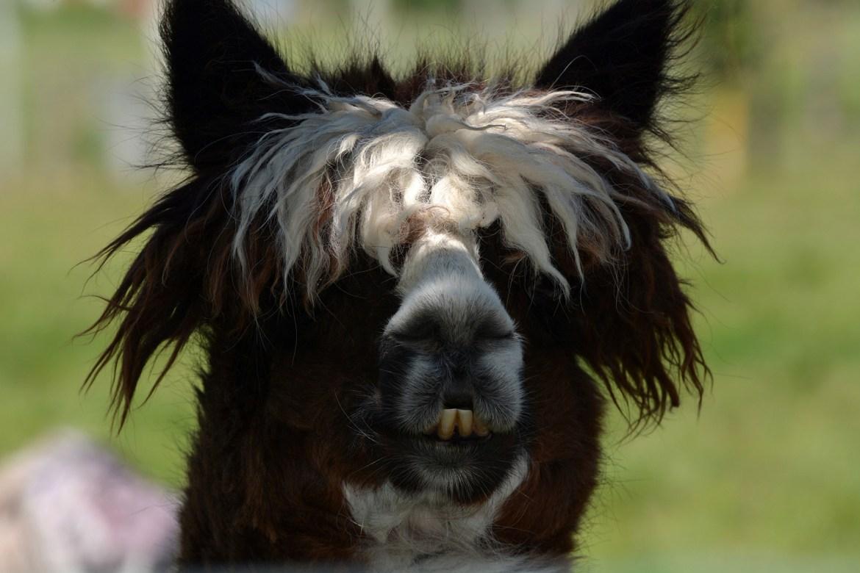 alpaca-1126289_1920