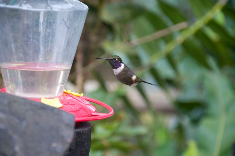 A Purple-throated Woodstar - can you hear him buzzing like a bumblebee?