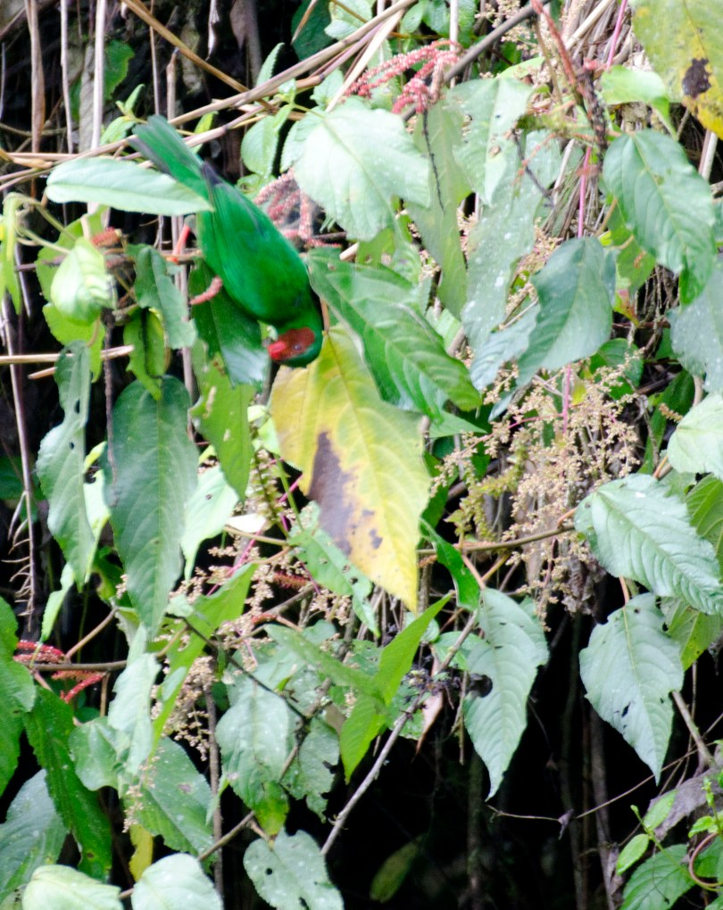 Can you see the Grass-green Tanager? Look for the flash of red at his beak.