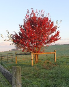 bright red tree the miller's farm