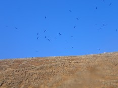 Frigatebirds circling the crater. They don't live here, but they eat things that do!