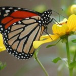 In 2014 our Bring Back the Monarch program awarded grants to add native milkweed and nectar plants to 39 community and school gardens.