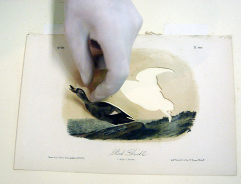 11_BBallengee_RIP Pied or Labrador Duck-cutting