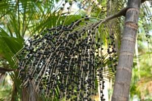 Palmeira do Açai
