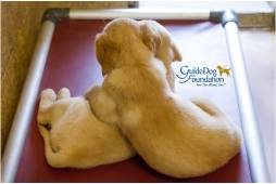 Guide Dog Foundation for the Blind - Puppy Friday
