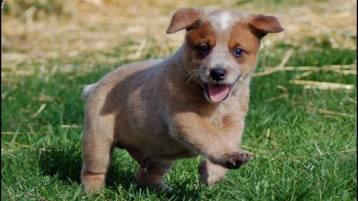 Australian Working Dog Rescue - Puppy Friday