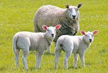 回家的路:聖經中的羊血塗抹、羊光普照 (何治平牧師證道)