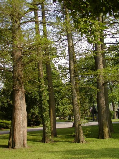 baldcypress-grove-forest-lawn