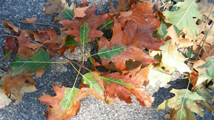 leaf discoloration caused by oak wilt