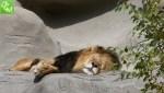 Detroit Zoo lions