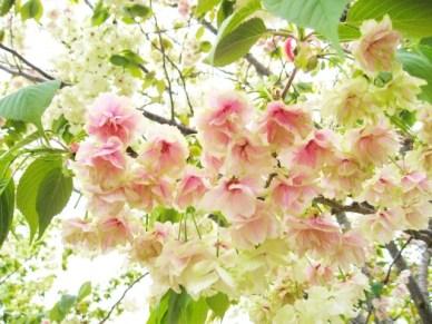 造幣局桜の通り抜け2015