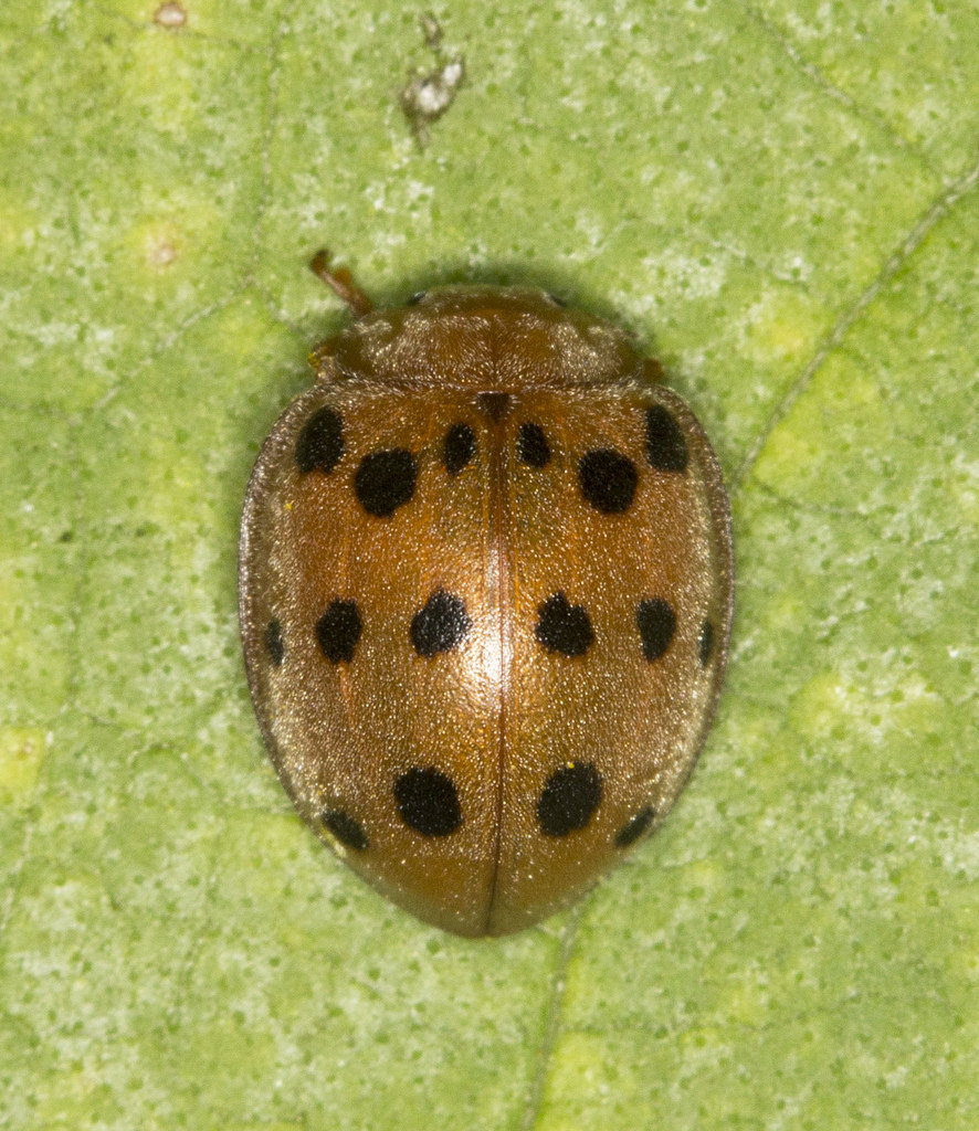 Fullsize Of Mexican Bean Beetle