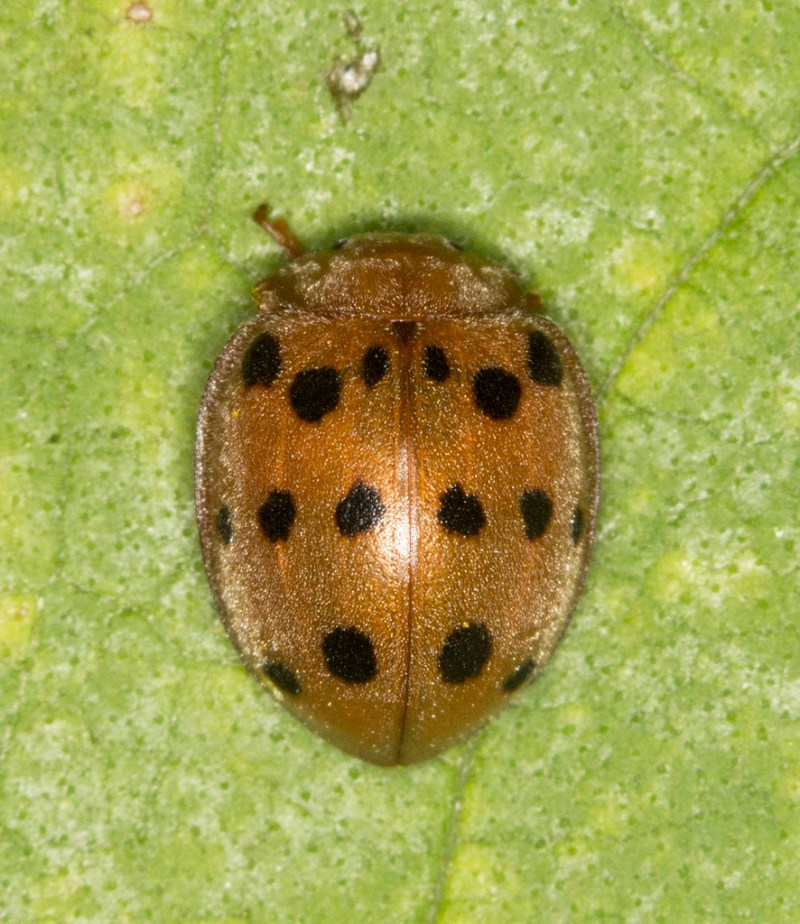 Large Of Mexican Bean Beetle