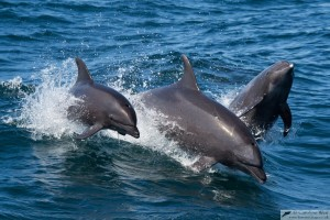 Fig 1. Bottlenose dolphins (Tursiops truncatus) are a common sight around shores worldwide; they like to hang out in the same coastal regions over the course of their life (Caroline Weir).