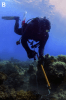 A diver injects a crown of thorns sea star in an effort to mitigate population outbreaks that decimate coral reefs.
