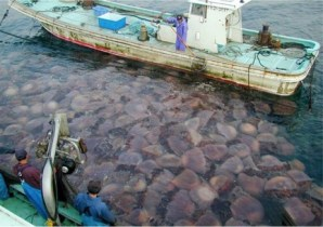 Figure 2 – Nomura's jellyfish blooming in Japan and clogging fishing nets.